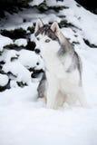 Young Husky Stock Image