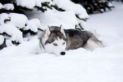 Young Husky Stock Images