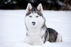 Young Husky. On white snow background Stock Photos