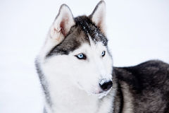 Young Husky Royalty Free Stock Photos