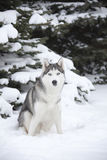 Young Husky Royalty Free Stock Image