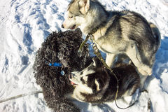 Young Husky and Black Russian Terrier play fighting in snow.  Royalty Free Stock Photos