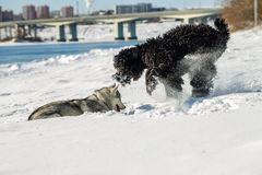 Young Husky and Black Russian Terrier play fighting in snow.  Royalty Free Stock Image
