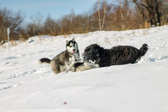 Young Husky and Black Russian Terrier play fighting in snow.  Stock Photos