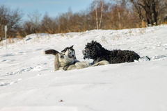 Young Husky and Black Russian Terrier play fighting in snow.  Royalty Free Stock Photography