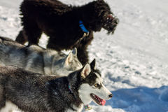 Young Husky and Black Russian Terrier play running in snow.  Royalty Free Stock Photography