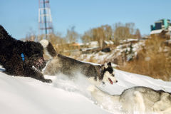 Young Husky and Black Russian Terrier play running in snow.  Stock Photography
