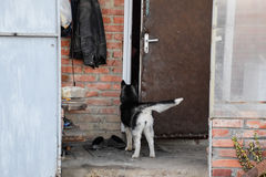 Young husky dog standing at the door Stock Photo