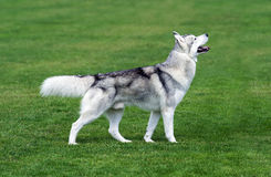 Young husky dog staying on the green field. Young husky dog staying on the  field Stock Photos