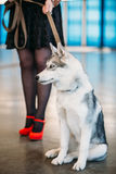Young Husky Eskimo Dog At Feet Of Mistress Stock Image