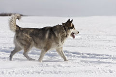 The young husky goes on snow field Stock Photo