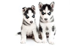 Young husky puppies on white background Stock Photos