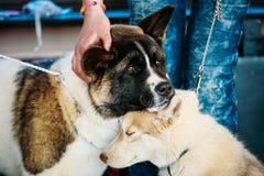 Young Husky Puppy Eskimo Dog And American Akita Royalty Free Stock Photo