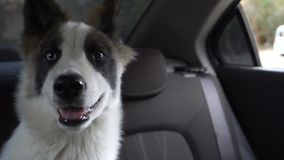 Puppy Husky is waiting for owner in car. Young husky puppy waiting for the owner in the car. Transportation of animals. Caninity stock footage