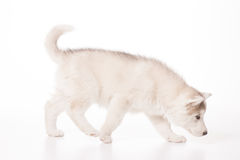 Young husky puppy walking smelling Royalty Free Stock Image