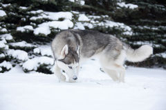 Young Husky Royalty Free Stock Images