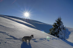 Young husky in winter Royalty Free Stock Photos