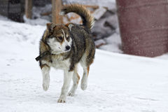 Young husky in the winter. During a snowfall Royalty Free Stock Photos