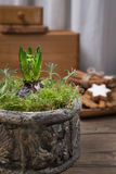 Young hyacinth bulb in ornate clay pot on kitchen table Stock Images