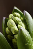 Young hyacinth buttons closeup Royalty Free Stock Images