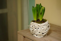 Young hyacinth stock images