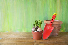 Young hyacinth plant and gardening tool Royalty Free Stock Photo