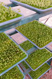 Young Hydroponics vegetable Royalty Free Stock Images