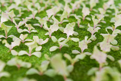 Young hydroponics vegetable(Green cosl) Royalty Free Stock Photography