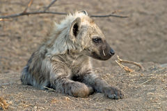 Young hyena. Early winters morning with young hyena Royalty Free Stock Images