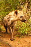 Young Hyena. Portrait of a young Hyena stock image
