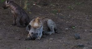 Young hyena lying on the ground stock image