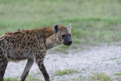 A young Hyena on the move(5) Royalty Free Stock Photography