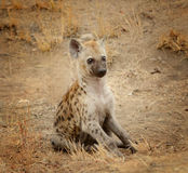 Young hyena pup Stock Images
