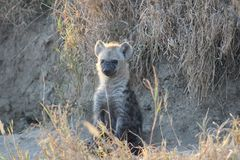 Young Hyena sitting amongst the grass stock images