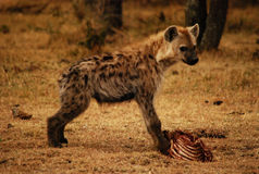 Young Hyena Stock Images