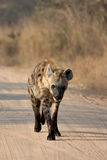Young Hyena. Walking on dirt road in Kruger national park in south Africa looking into camera royalty free stock image