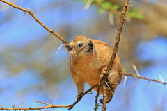Young Hyrax Royalty Free Stock Photography