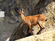 Young Ibex. A young ibex isolated on Italian Alps stock image