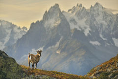 Young Ibex from French Alps Stock Images