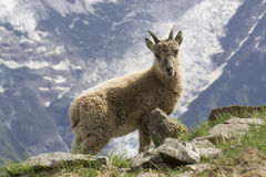 Young ibex in the mountains. French Alps. Royalty Free Stock Photos