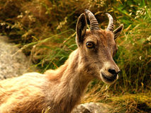 Young ibex portrait. A young ibex portrait in its habitat stock photo