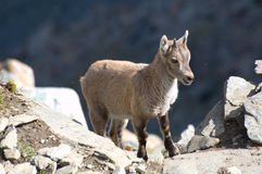 Young ibex on rocks. Side portrait of young ibex or goat on rocks Stock Photos