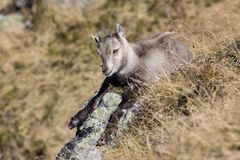 Young Ibex sits in the dry grass on a beautiful autumn day in Switzerland stock image