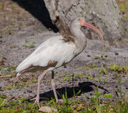 Young Ibis Gazing Upwards Stock Photos