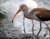 A young Ibis in search of food in the river shore Royalty Free Stock Images