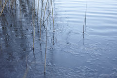 Young ice texture, frozen grass, water. Young ice texture and frozen grass, water, thin ice Stock Image