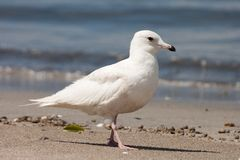 Young Iceland Gull (Larus glaucoides) Royalty Free Stock Photos