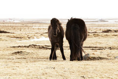 Young Icelandic foal with mother on a meadow Stock Photos
