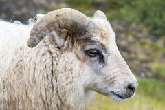 Young Icelandic sheep on a green meadow, Iceland Royalty Free Stock Image