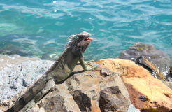 Young Iguana Stock Photography
